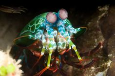 Mantis Shrimp by Alexander Safonov: Neither a shrimp, nor a mantid, the Mantis Shrimp is a crustacean with excellent vision. Each compound eye moves on a stalk independently of the other eye and has three regions enabling it to view three different images simultaneously, trinocular vision. It has at least 16 different photoreceptors (12 for color, 4 for UV and 4 for polarized light.) The mantis shrimp have colorful bodies which can fluoresce during mating! http://tinyurl.com/86agu   #Mantis_...