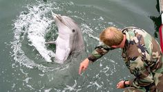 Navy Marine Mammal Program combines technology and biology to train bottlenose dolphins to find sea mines, enemy divers and even artifacts. Navy Marine, Marine Life, Dolphin Facts, Dolphin Photos, Bottlenose Dolphin, Marine Biology, Black Sea, Dolphins, Mammals