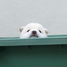 柴犬 : 柴犬の子犬