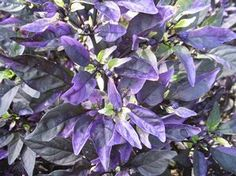 Purple Flash - a variety of the capsicum plant.  Is it edible or just ornamental?