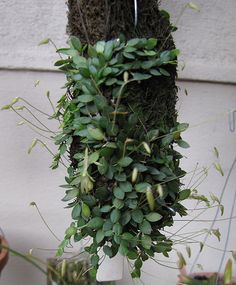 barbosella dusenii - Google Search