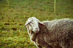 Wer nicht SCHAF ist, ist selber schuld! ;) Lamb, Animals, Blame, Animales, Animaux, Baby Lamb, Animal, Baby Sheep, Animais