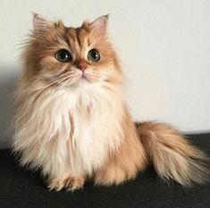 So cute cats pets cute Cute Kittens, Fluffy Kittens, Fluffy Cat, Pretty Cats, Beautiful Cats, Animals Beautiful, Pretty Kitty, I Love Cats, Crazy Cats