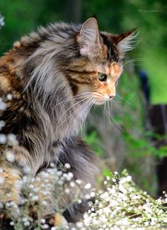 Torbie Maine Coon - looks like my Soph! http://www.mainecoonguide.com/maine-coon-personality-traits/