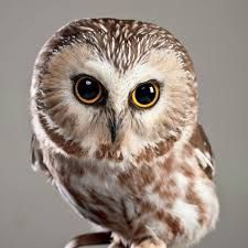 Northern Saw-whet Owl - Google leit