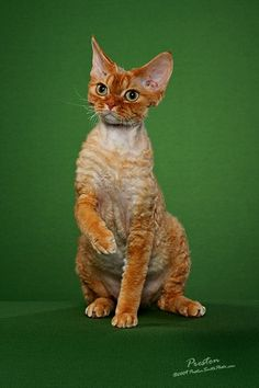 Cutest Devon Rex ever! I Love Cats, Crazy Cats, Cute Cats, Pretty Cats, Beautiful Cats, Devon Rex Cats, Cornish Rex Cat, Super Cute Animals, Unique Cats