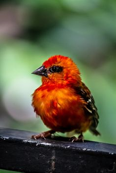 *MAURITIUS FODY ~ A rare species of the weaver family and is found on the island of Mauritius. It's classified as endangered by BirdLife International and is on the United States Endangered species list.
