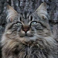 Welcome! Maine Coon Cat Nation is full of Coonie tips, advice and photos. Explore unique traits, cat care, and Maine Coon Kittens for sale.