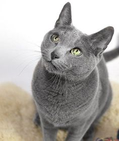 """Russian Blue....."""" Russian blues actually produce less of the glycoprotein Fel d 1, the very substance to which people are allergic."""""""
