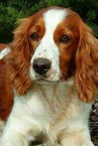 Welch Spaniel Welsh Springer Spaniel Spaniel Puppies Springer Spaniel