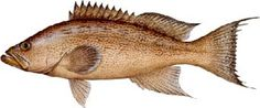 saltwater_groupsca.jpg/scamp grouper