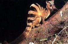 Banded Palm Civet