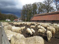 schaapskooi  Marijke Kemps..Fotograaf: MarijkeKemps Veluwse heideschapen bij de schaapskooi Ginkelse heide (bij Ede). Uit het donkere wolkendek viel even later een flinke hagelbui. Het weerbeeld van Koningsdag; zonnige momenten afgewisseld door regen- of hagelbuien.