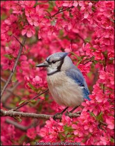 Somebody's jaw dropping photo on blue jay and pink flowers! Pretty Birds, Beautiful Birds, Animals Beautiful, Cute Animals, Simply Beautiful, All Birds, Love Birds, Angry Birds, Jay Azul