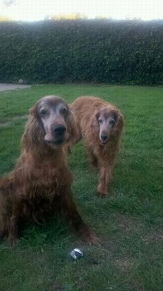 Irish Setter. L. Brochu. Wilson and Rory - Good morning.