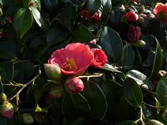 Camelia in March