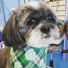Madison #tucsondoggrooming #wagsmytail #doggrooming A well groomed dog is a well loved dog! Call us today to schedule your dog grooming appointment 520-744-7040