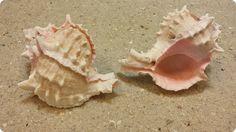 "Pink Murex Seashell 3-1/2"" to 4"" $2.60"