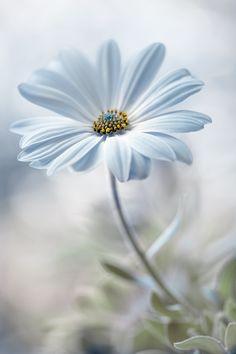 Wallpaper flores margaridas 20 ideas for 2019 My Flower, White Flowers, Beautiful Flowers, Single Flowers, Anemone Flower, Daisy Flowers, Tropical Flowers, Daisy Love, Blue Daisy