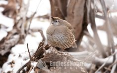 A female California Quail sits on a branch out of the snow trying to stay warm. Wildlife Images, Nature photography, Quail home decor photograph, Wildlife Photography,Bird Prints.