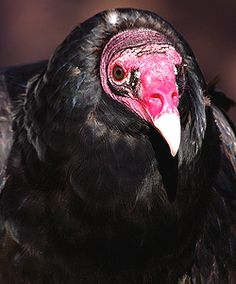 Buzz, the turkey vulture.