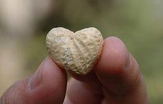 Heart Shaped Peanut