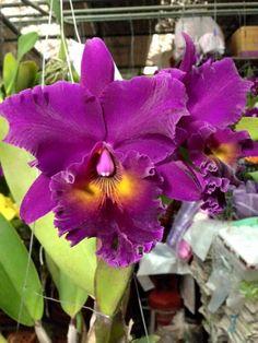 Cattleya Orchid, Belleza Natural, Flower Pictures, Orchids, Beautiful Flowers, Flora, Wallpaper, Purple Color Palettes, Wonderful Flowers