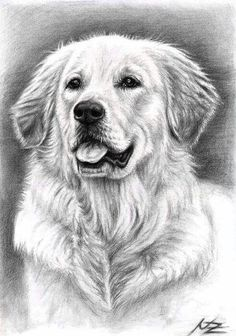 Dog drawing - golden retriever spence by nicole zeug. Chien Golden Retriever, Golden Retrievers, Animal Drawings, Art Drawings, Drawing Art, Dog Paintings, Dog Portraits, Dog Art, Dog Love