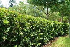 Viburnum - A Fast Growing Hedge Plant Fast Growing Hedge, Evergreen Hedge, Outside Pool, Garden Hedges, Florida Plants, Plant Images, Backyard Makeover, Different Plants, Back Gardens