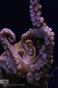 Kraken by rufotografia Octopus Photography, Underwater Photography, Wildlife Photography, Octopus Art, Octopus Jewelry, Giant Pacific Octopus, Octopus Tattoo Design, Giant Squid, Save The Whales