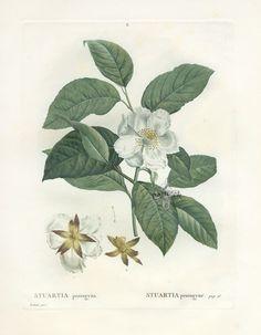 Antique botanical prints from Redoute 1801 Botanical Illustration, Illustration Art, Illustrations, Joseph, Jpg, Love Flowers, Botanical Prints, Still Life, Bloom