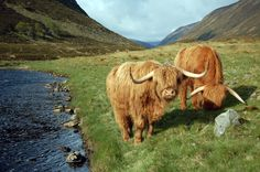 Moocows in the Scottish Highlands