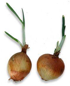 Sibuyas (Onion)
