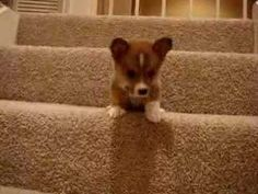 Little Corgi's struggle to get down the stairs. Celebrate the little things.