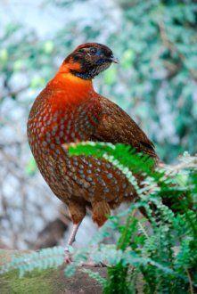 Timmincks Tragopan Pheasants