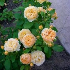 Роза Голден Селебрейшн фото