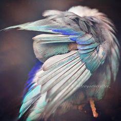 Love Birds  When a photographer captures love between her parakeets (image)
