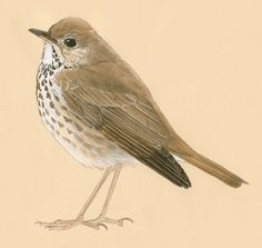 Google Image Result for http://www.johnmuirlaws.com/wp-content/uploads/2011/06/Hermit-Thrush-inside-out-small.gif