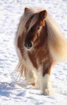 Shetland pony!