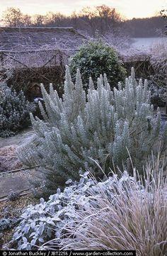 The gravel garden at Ketleys in winter with Stipa arundinacea, Salvia officinalis Berggarten and Rosemary