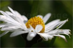 Daisy    -        natur,  weiss,  Blume,   gelb, Wegrand, Pflanze,  nahaufnahme,  makro,  Bellis,   Wiesenblume,  Blumen & Blüten,  Makrofotografie
