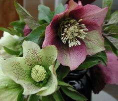 Was I surprised when my only hellebore acclimated so well in my front garden facing west!  I hope to get a couple of more to fill the rest of the space along our fence (^_~)