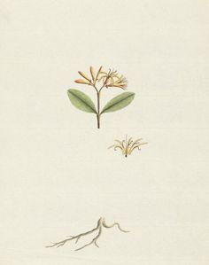Erect mistletoe (Amyema congener) - is a species of flowering plant, an…