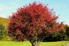 Picture of Toxic Euonymus Europaeus in autumn with red leaves stock photo, images and stock photography. Strawberry Bush, Euonymus Alatus, Burning Bush, Red Leaves, Small Trees, Landscaping Plants, Evergreen, Light Colors, Shrubs
