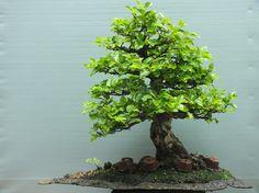 Νέο άρθρο στην Βιβλιοθήκη! Καρπίνος ή γαύρος (Carpinus - Hornbeam bonsai)  http://bonsaiforum.gr/viewtopic.php?f=44&t=7812