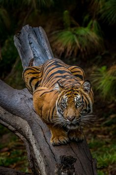 Crouching tiger by Todd Lahman