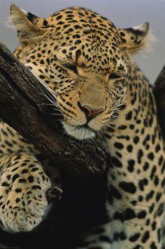 * Close view of a Leopard