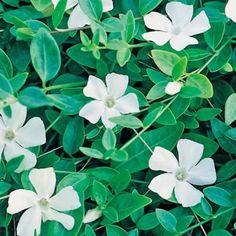 """Das Weiße Immergrün """"Gertrude Jeckyll"""" (auch 'Alba' genannt) bezaubert uns mit seinen kleinen schneeweißen Blüten, womit es ein bisschen Helligkeit in schattige Ecken des Gartens bringt. Die Blüten erfreuen uns im April/Mai und blühen nach einer kurzen Pause vereinzelt den ganzen Sommer hindurch.Das Immergrün ist pflegeleicht, unverwüstlich und total unkompliziert, sodass es an fast allen Standorten im Garten eingesetzt werden kann. Unter Sträuchern und Bäumen fühlt es ..."""