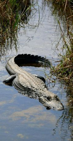 Alligator.. Everglades National Park, Florida, U.S (by renedrivers on Flickr)