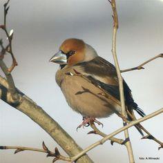 ptaki polskie - grubodziób